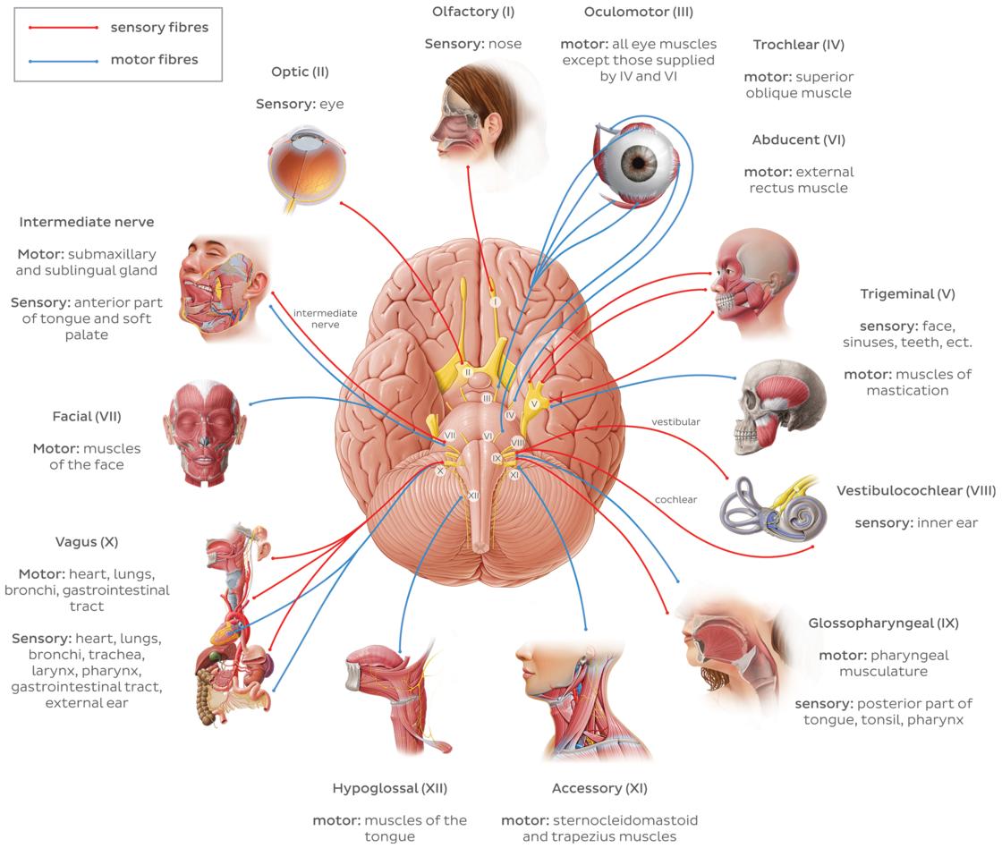 Cranial Nerves Anatomy Names Functions Mnemonics Kenhub